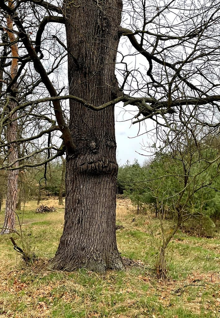 Dobříňský háj, Procházka v dešti lesem není nuda, strom s obličejem - strážce lesa