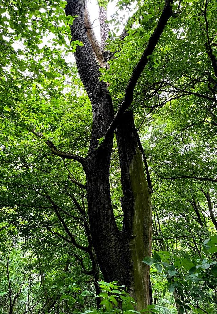 Rozeklaný strom na kopci Lovoš