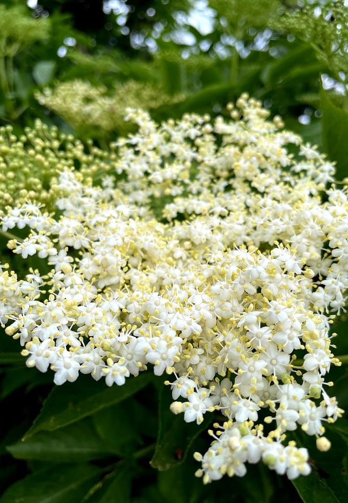 Květ Černého Bezu