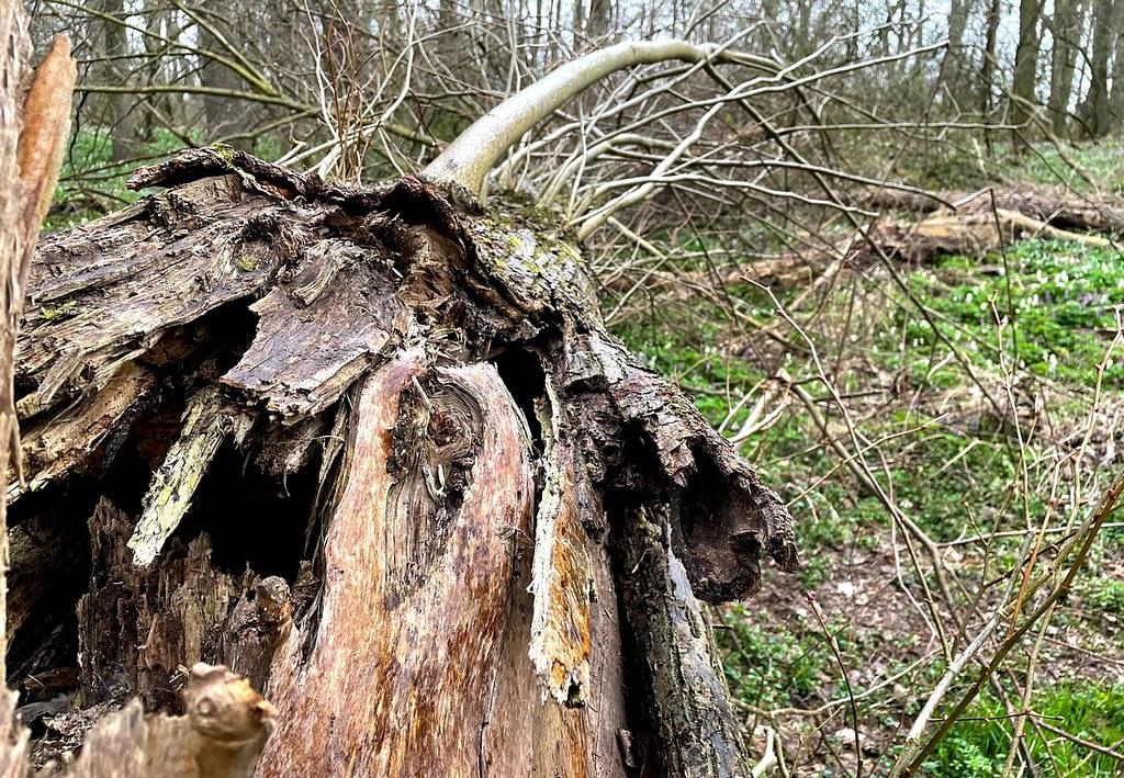 Dobříňský háj, Procházka v dešti lesem není nuda, padlý strom
