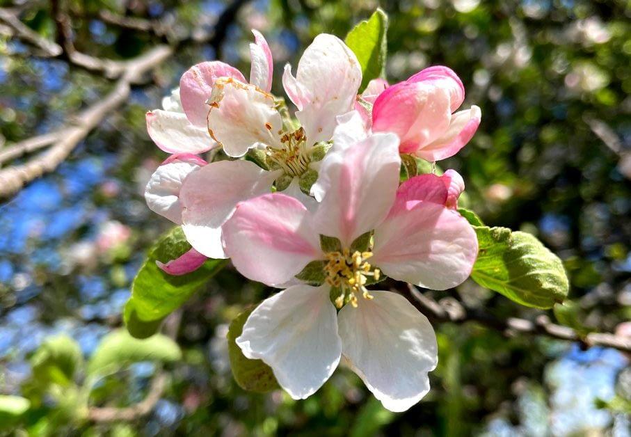 rozkvetlá jabloň