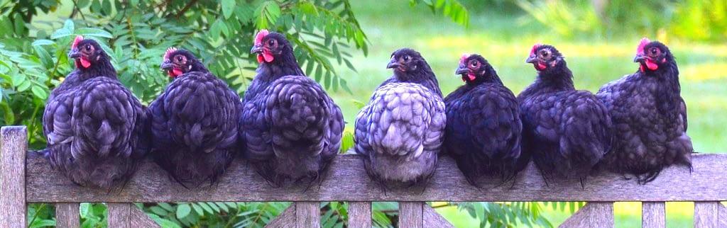 černá kuřata na bidýlku, Vyléčit nebo zabít? Povídka o slepici