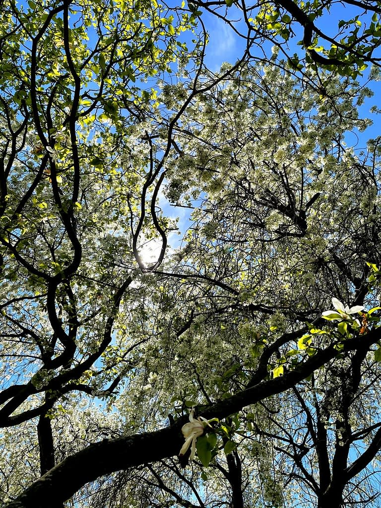 rozkvatlý strom